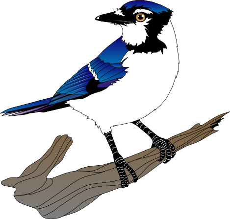 blue jay clipart clipart panda free clipart images rh clipartpanda com blue jay clip art free blue jay clipart black and white