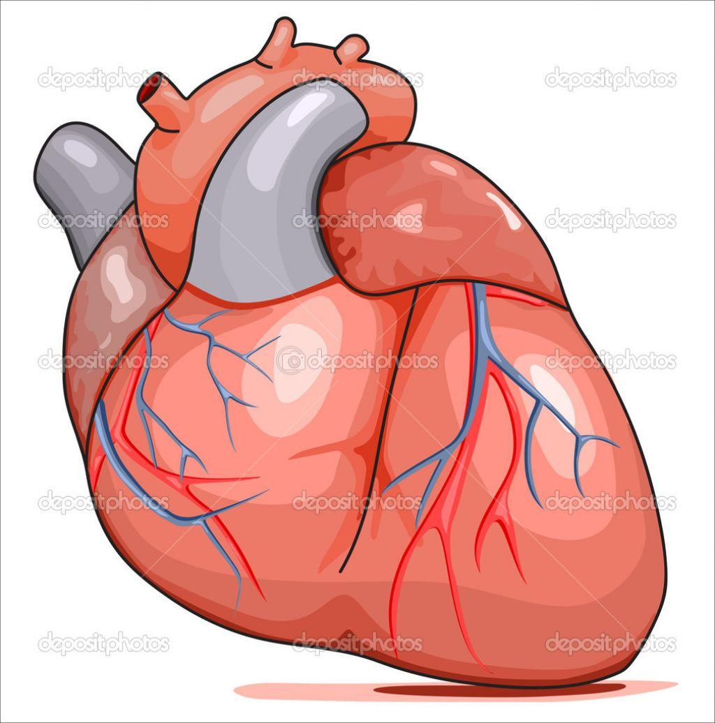 human heart clip art clipart panda free clipart images rh clipartpanda com human heart clipart black and white human heart clip art free